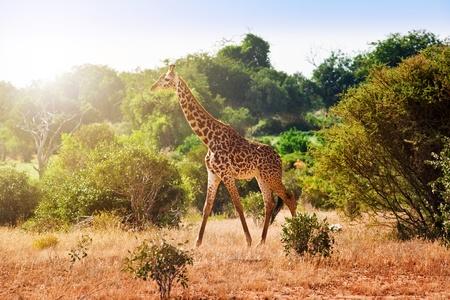 Giraffe in the savanna a walking foot  Kenya Standard-Bild