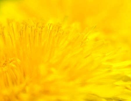 Yellow Taraxacum officinale - background macro abstraction photo