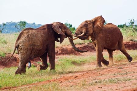 battle of elephants in the savannah