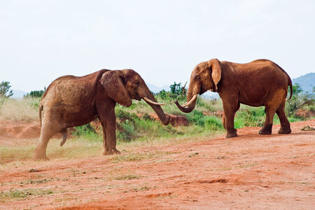 battle of elephants in the savannah photo