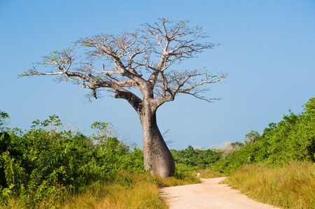 large baobab tree near the road the savannah Stock Photo