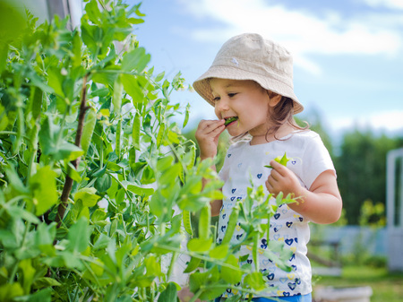 Child in the garden gathers eating peas 스톡 콘텐츠