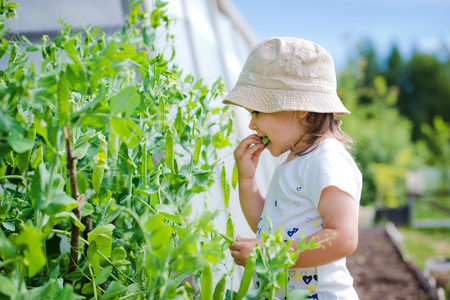 pea pod: Child in the garden gathers eating peas Stock Photo