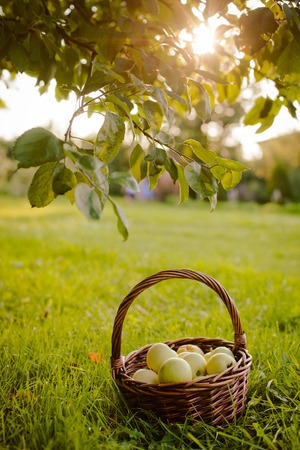 the basket of apples under the Apple tree Stock Photo