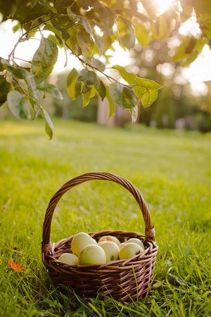 the basket of apples under the Apple tree Stock fotó
