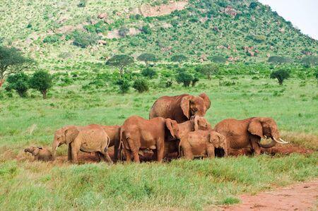 elephants in the African Savannah
