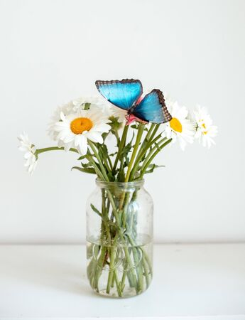 tropical butterfly Morpho sits on a white flower in a bouquet of large daisies and gerberas on a white background, macro. Spring pattern, free space, concept. Congratulations and a living gift.