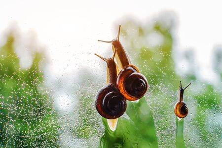 family snails crawling wet glass against blurred green trees. concept family, parenthood childhood care. Hurry up don't rush. Autumn, summer rain. nature of animal, mollusk.