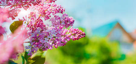 blooming lilac bush in the spring against the blue sky with the rays of the sun. Banner. free space for text. Spring background postcard