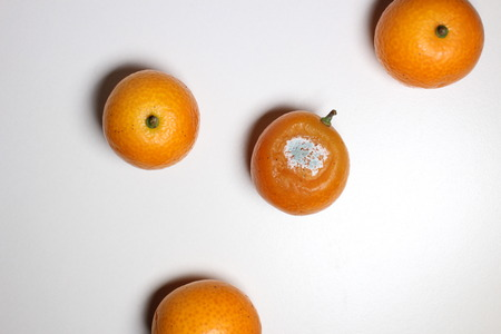 moldy: Moldy kumquat fruit Stock Photo