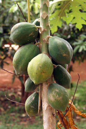 Green tropical fruit papaya on the tree                    photo
