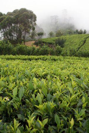 indigenous medicine: Tea plantation near Haputale, Sri Lanka