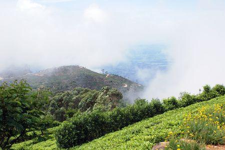 indigenous medicine: Tea plantation on the slope near Haputale, Sri Lanka