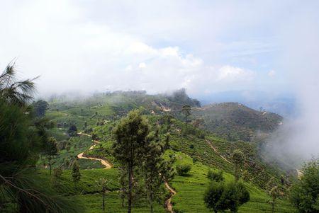 indigenous medicine: Tea plantation near Haputale, Sri Lanka                    Stock Photo