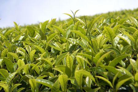 Tea bush and green leaves in Sri Lanka