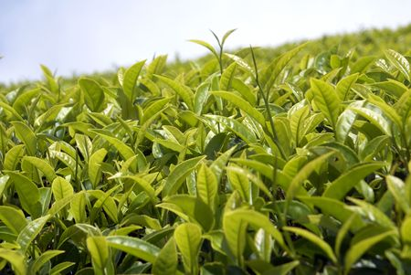 Tea bush and green leaves in Sri Lanka