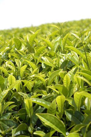indigenous medicine: Tea bush and leaves in Sri Lanka