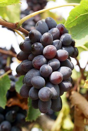 taman: Grape in vineyard near Taman, south Russia
