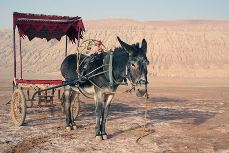 Old donkey in desert, West China                  photo
