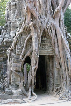 cambodia sculpture: Entrance and roots, Angkor, Cambodia