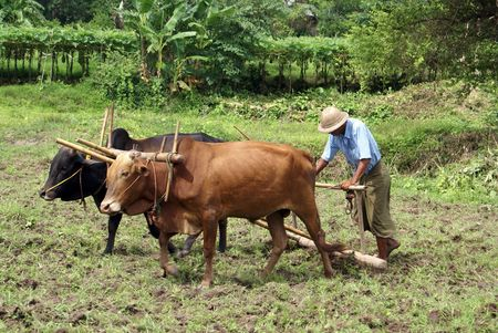 barefoot cowboy: Man with cows and pough on the field in Myanmar