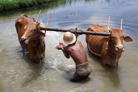 barefoot cowboy: Man washing cattle in the lake in Myanmar