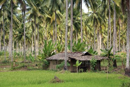 Hut under palm trees and green grass, Indonesia                   photo