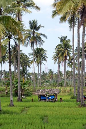 Green palm trees and culture, Indonesia                  photo