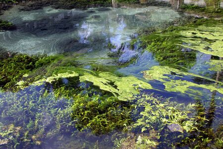 Green seaweed in the blue water               photo