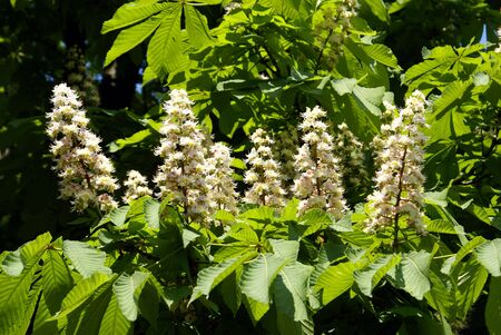 odessa: Chesnut flowers on the tree in Odessa