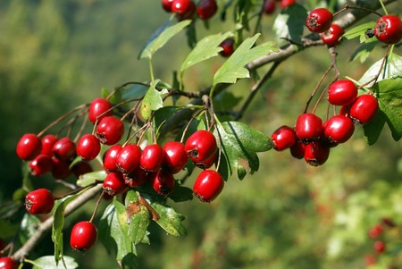hawthorn: Red berries on the tree                 Stock Photo