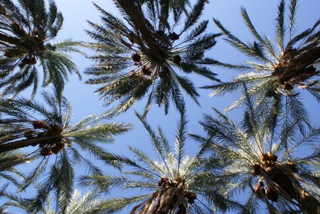 Palm trees with dates and blue sky                  photo