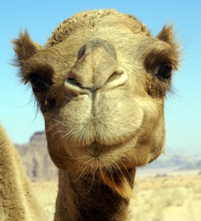 Cara de cute camello en el desierto, Jordam