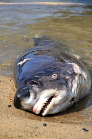 Dead shark on the beach in the water photo