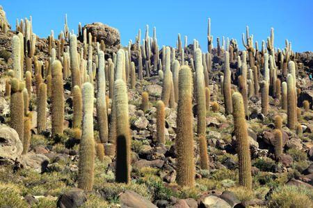 incahuasi: Cactuses on the mount in island Incahuasi in Uyuni salt lake in Bolivia