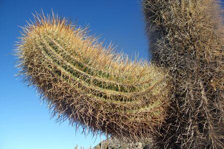 incahuasi: Very big cactus on the island Incahuasi in salt lake Uyuni in Bolivia
