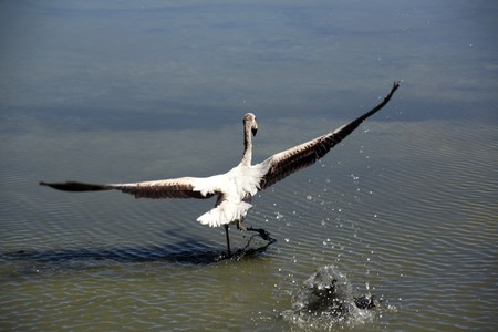 Flying gray flamingo on the lake near Uyuni in Bolivia photo