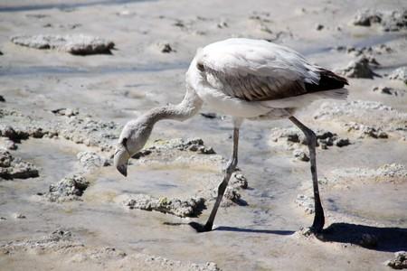 Gray flamingo on the salt lake near Uyuni in Bolivia photo