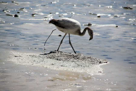 Gray flamingo and defecation on the salt lake near Uyuni in Bolivia photo