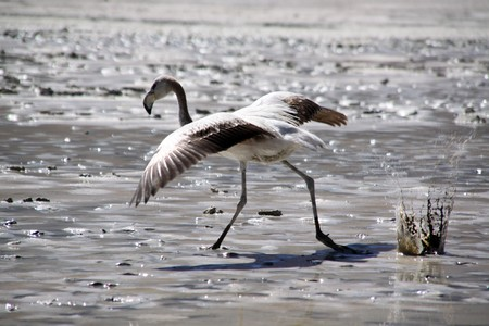 Gray flamingo on the dirty lake near Uyuni in Bolivia photo