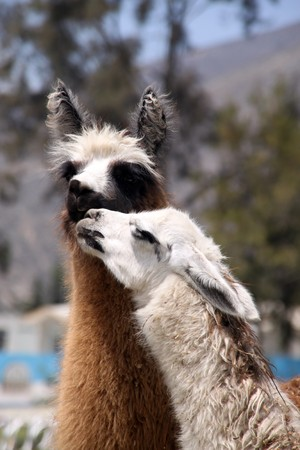 Two kissing llamas white and brown photo