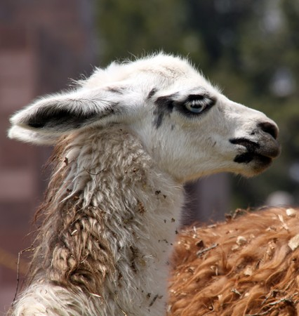 White head of llama on the field in Ecuador Stock Photo - 7689376