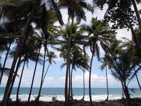 dominica: Palm trees on the sea coast of caribean island Dominica
