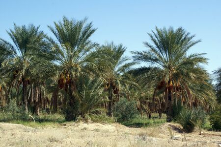 Orchard with palm trees in south part of unisia Stock Photo - 7795640