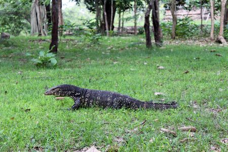 Monitor lizard on the green grass in the forest photo