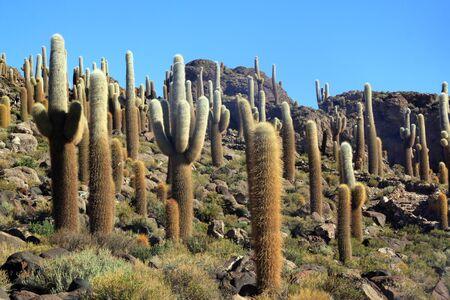 incahuasi: Cactuses on the island Incahuasi in salt lake Uyuni, Bolivia
