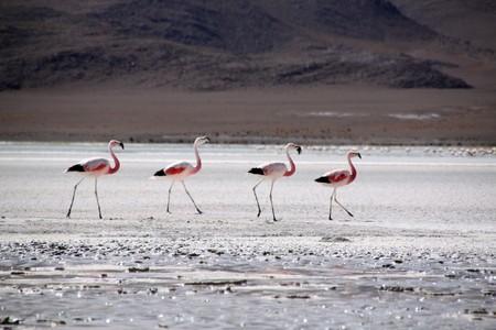 Pink flamingos on the salt lake near Uyuni in Bolivia photo