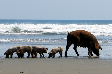 Pigs on the beach and waves in Nicaragua                     Stock Photo