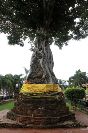 na: Very big tree in Wat Na Phramain, Ayutthaya, Thailand