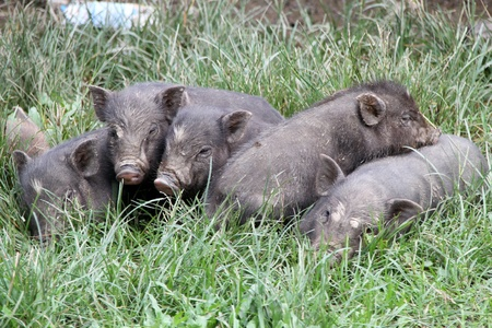 potbellied: Small pigs on the green grass in village, Laos